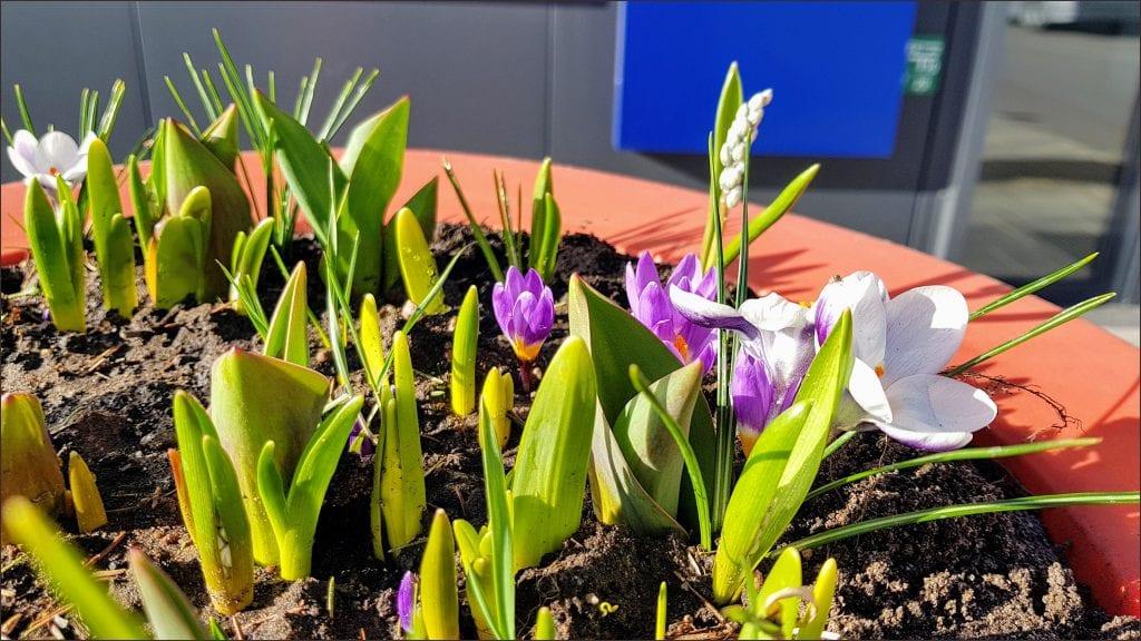HORTUS MAGICUS Svogūniniai-augalai.-Early-spring.Bulb-plants.