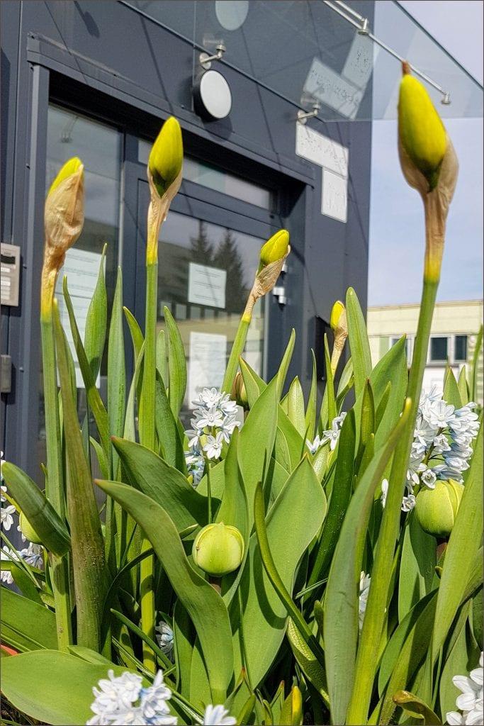 HORTUS-MAGICUS-Svogūniniai-augalai.-Narcizai..Bulb-plants.