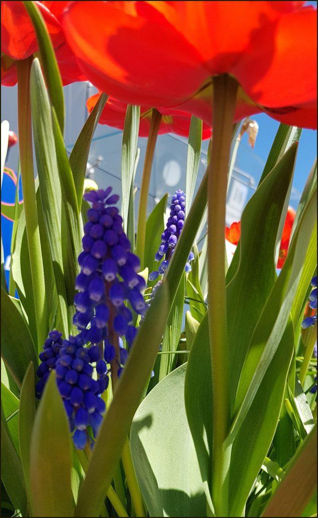 HORTUS-MAGICUS-Svogūniniai-augalai-Pasakų-šalyje-.Bulb-plants.
