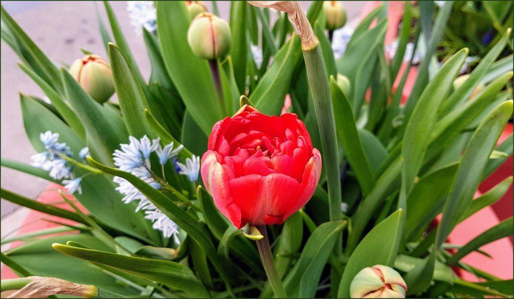 HORTUS-MAGICUS-Svogūniniai-augalai.--Tulpė-.Bulb-plants.