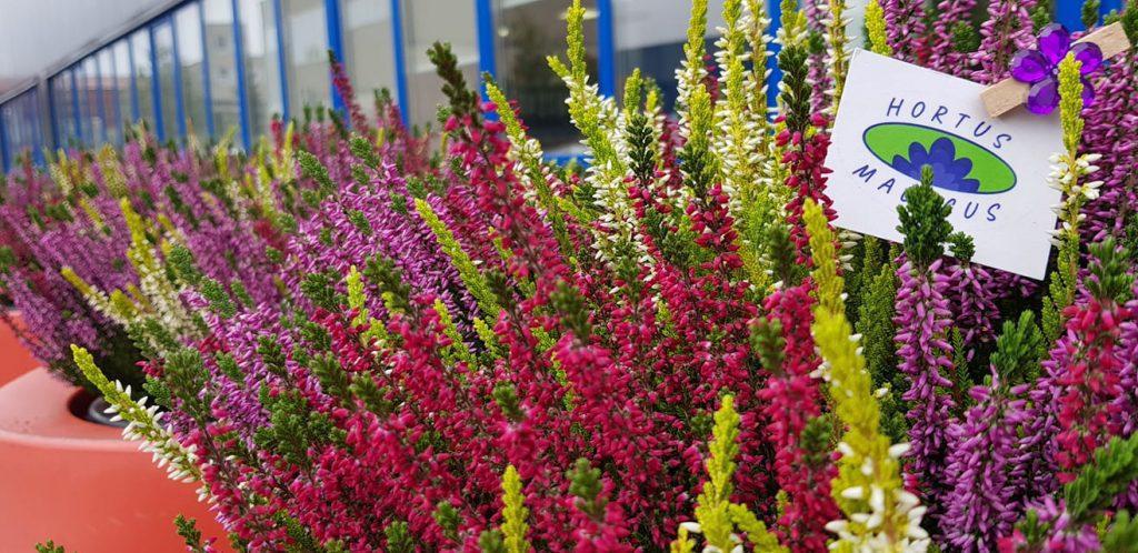HORTUS MAGICUS Aplinkos sutvarkymas.Vazoninniai augalai lauko vazonuose.Viržiai.
